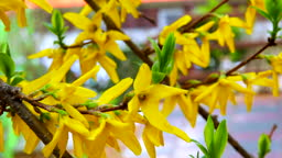 blossoming forsythia breeze spring days