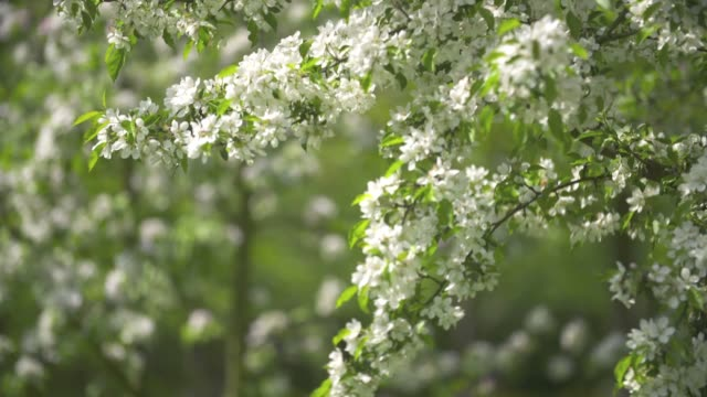 blossoming fruit tree - springtime stock videos & royalty-free footage