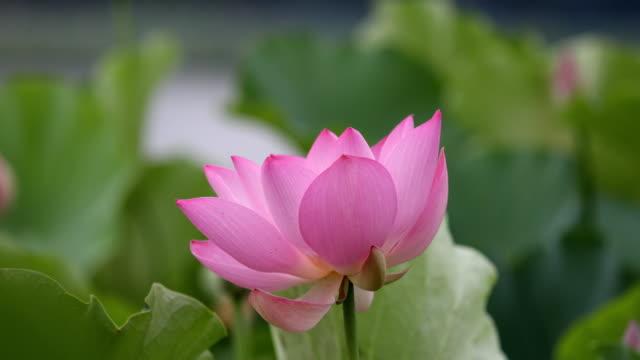vídeos y material grabado en eventos de stock de floreciente loto balanceo con el viento - loto