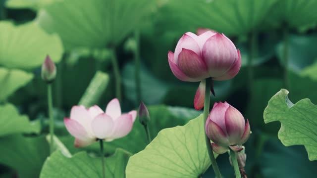 blommande lotus gunga med vinden - akvatisk organism bildbanksvideor och videomaterial från bakom kulisserna
