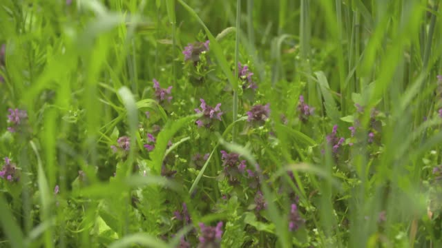 blossoming nettle - nettle stock videos & royalty-free footage
