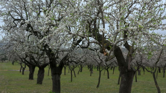 blossoming of almond trees, majorca - almond stock videos and b-roll footage