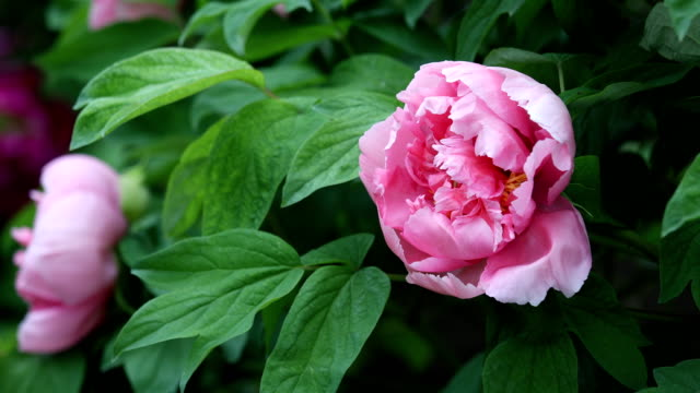 Blossoming peony sway with the wind