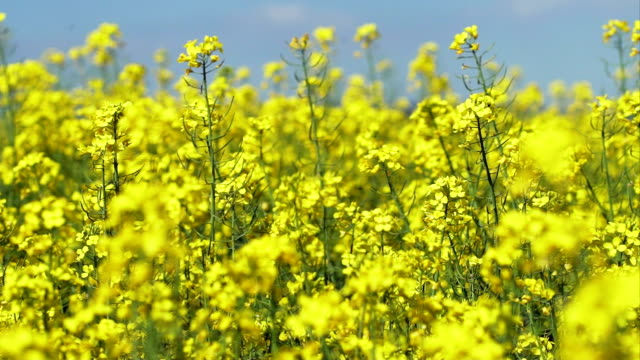 blossoming rapeseed field close-up (4k/uhd to hd) - crucifers stock videos & royalty-free footage