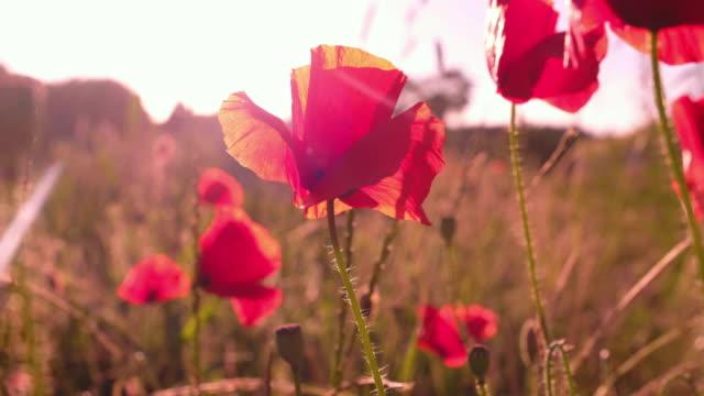 vidéos et rushes de coquelicots rouges en fleurs se balançant sur la brise légère - ballotter