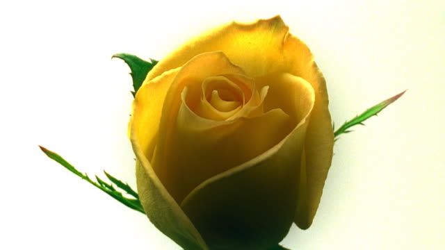 Blossoming single yellow rose