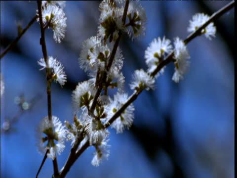 blossoming snow gum tree, namadgi national park, new south wales, australia - 小枝点の映像素材/bロール