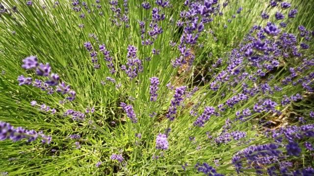 Blühende echte Lavendel (Lavandula Angustifolia) aus Sicht der Biene