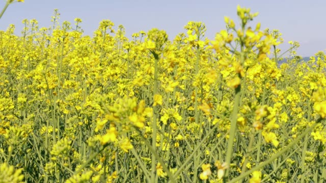 blossoming yellow canola oil flowers and flying bees under blue sky at sunny day. focus on middle distance plants. flowering oilseed rape and insects - rapeseed oil stock videos and b-roll footage