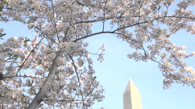 blossoms framing washington monument - dulles international airport stock videos and b-roll footage