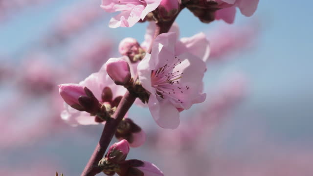 Blossoms grow on a peach tree in Japan.