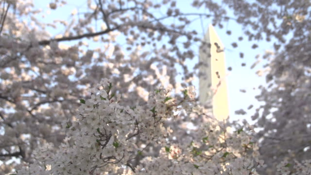 Blossoms In Front of Washington Monument