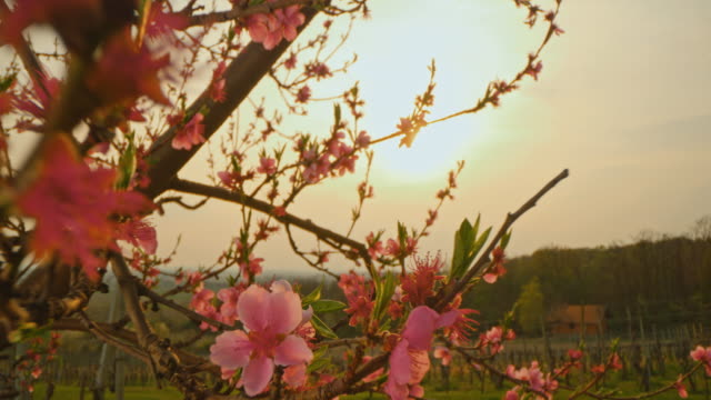 ds blossoms on a blooming tree against direct sunlight - single tree stock videos & royalty-free footage