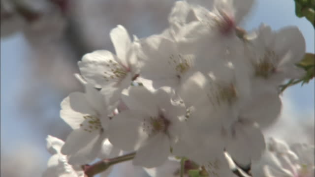 blossoms on cherry trees in senkoji park quiver in a breeze. - onomichi hiroshima stock videos and b-roll footage