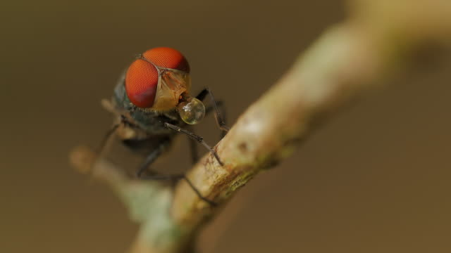 blow fly, carrion fly, bluebottles, greenbottles, or cluster fly - carnivorous plant stock videos and b-roll footage
