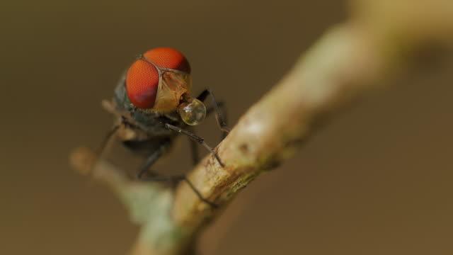 Blow fly, carrion fly, bluebottles, greenbottles, or cluster fly