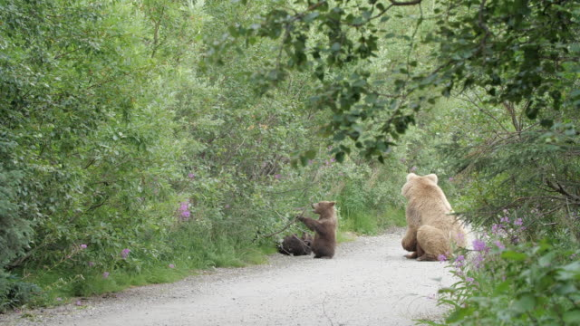 blow motion of brown bear cubs playing - bärenjunges stock-videos und b-roll-filmmaterial