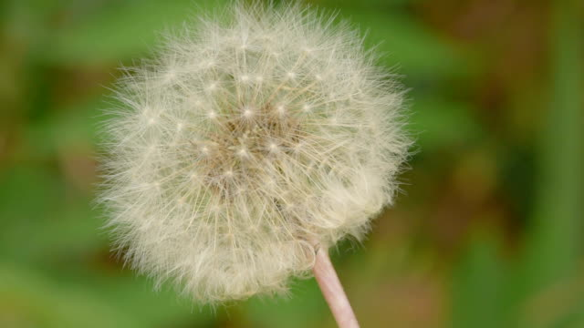 blowball on green background