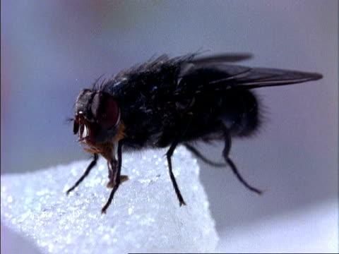 vídeos y material grabado en eventos de stock de cu blowfly,  feeding on sugar cube, england - mosca insecto