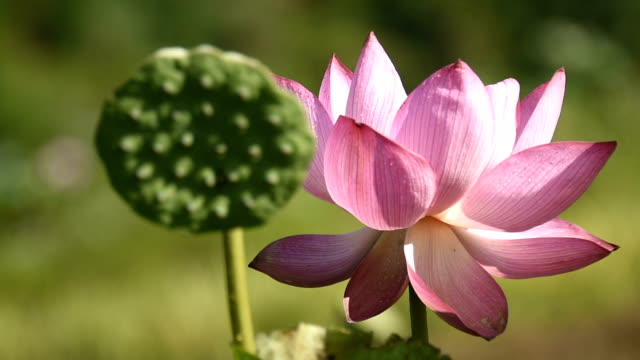 pic of lotus flower tattoo