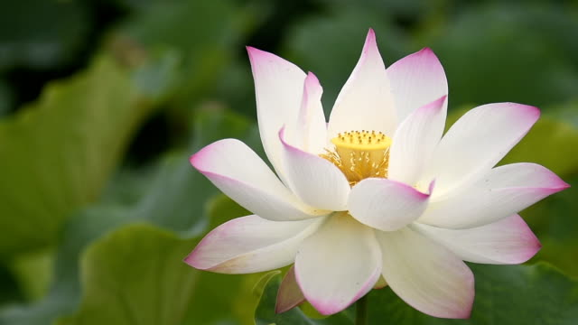 blowing lotus flower in the wind hd video - bud stock videos & royalty-free footage