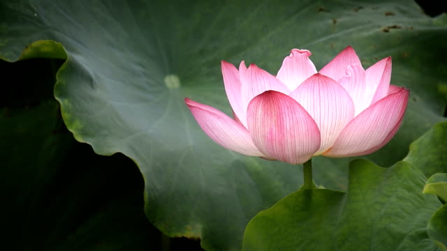 blowing lotus flower in the wind hd video - lily stock videos and b-roll footage