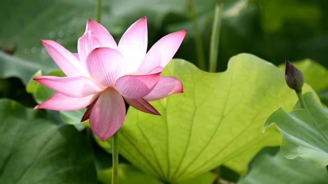 vídeos de stock e filmes b-roll de blowing lotus flower in the wind hd video - estame