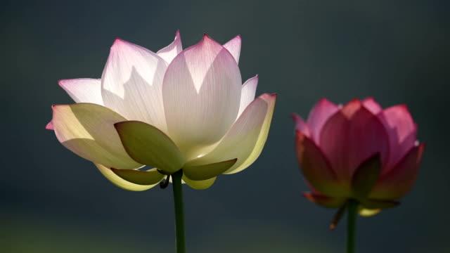vídeos y material grabado en eventos de stock de soplando flores de loto en el estanque de video hd - loto