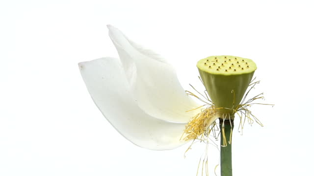 blowing lotus plant pod in the wind hd video - water plant stock videos and b-roll footage