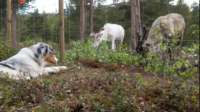 stockvideo's en b-roll-footage met blu the australian shepherd meets these reindeers and they all have their first meal together priceless - australische herder