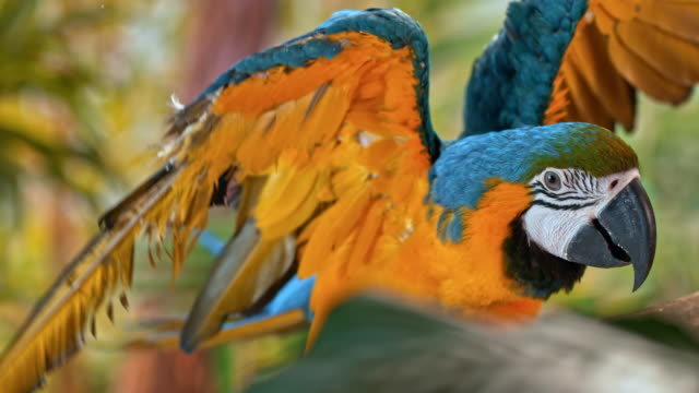 slo mo blue and golden macaw jumping on a branch - spread wings stock videos & royalty-free footage