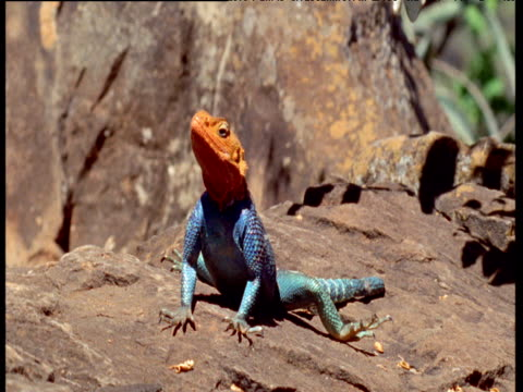 blue and orange agama lizard basks on rock - reptile stock videos & royalty-free footage