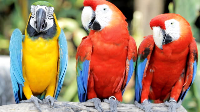 Blue and red macaw