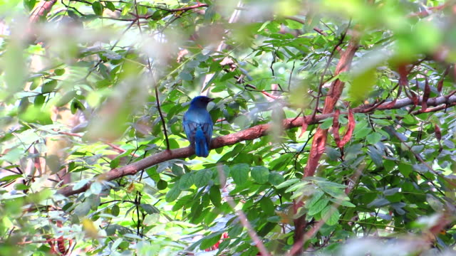 Blue And White Flycatcher Fly Up And Down