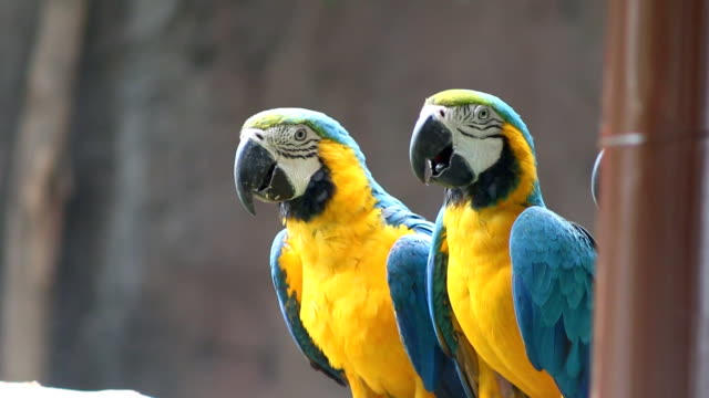 blue and yellow macaw (ara ararauna) - parrot stock videos & royalty-free footage