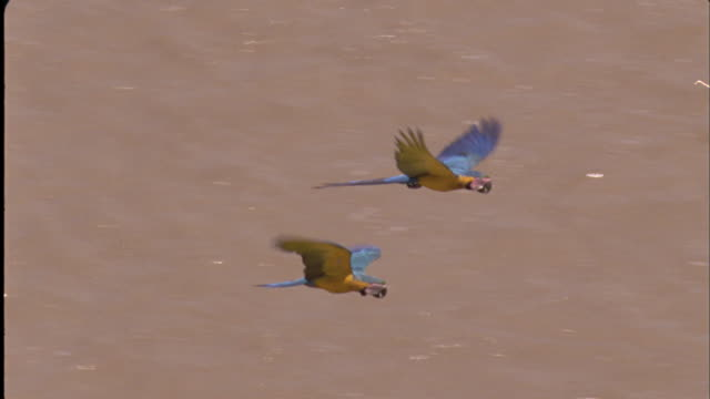 Blue and Yellow macaws fly over river Available in HD.