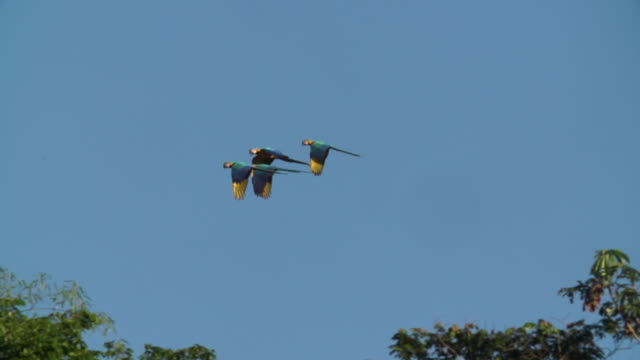 Blue and Yellow Macaws flying through canopy, high speed 240