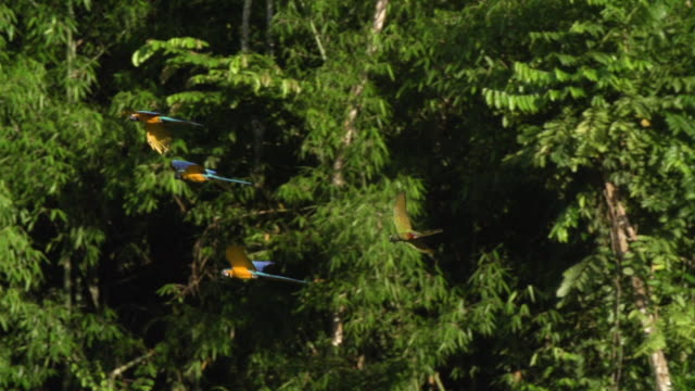 Blue and Yellow Macaws flying through rainforest, high speed 240