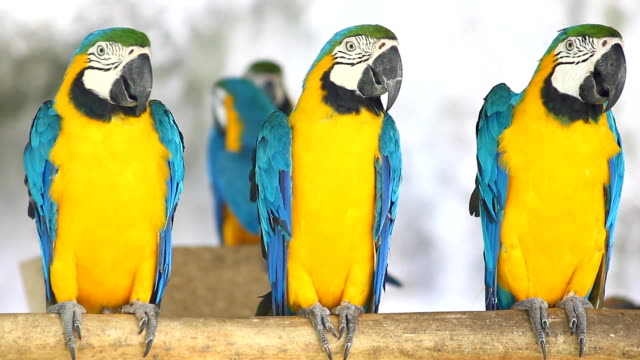 blue and yellow macaws (ara ararauna) perched ,bird - parrot stock videos & royalty-free footage