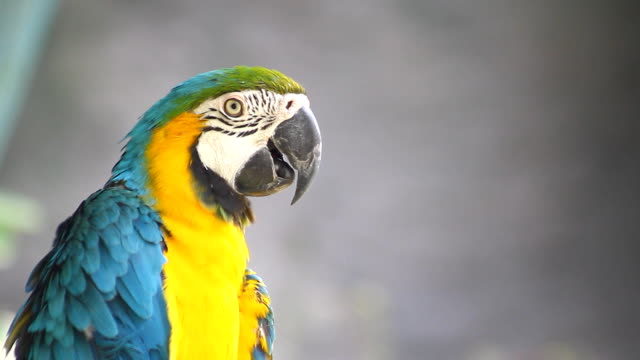 blue and yellow macaws (ara ararauna) perched ,bird