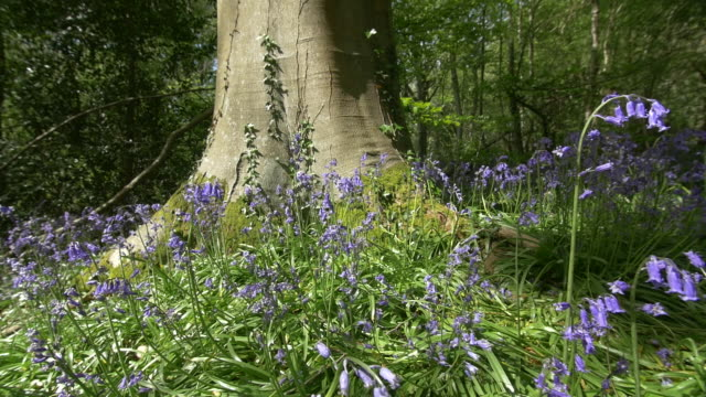 blue bells (hyacinthoides) by tree roots, woodland, south downs, sussex - wildflower stock videos & royalty-free footage