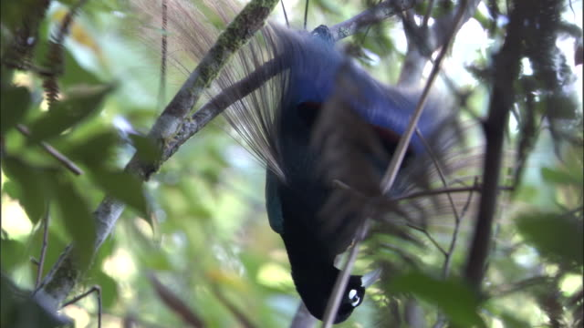blue bird of paradise (paradisaea rudolphi) performs courtship display, papua new guinea - bbc stock videos and b-roll footage