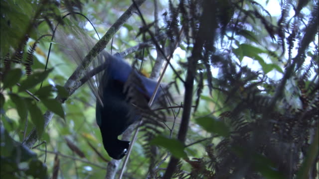 blue bird of paradise (paradisaea rudolphi) performs courtship display, papua new guinea - papua stock videos and b-roll footage