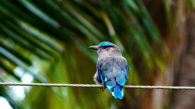 vídeos de stock e filmes b-roll de 4k: blue bird - criação animal