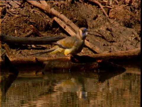 blue bonnet parrot drinks from waterhole, new south wales, australia - böja sig bildbanksvideor och videomaterial från bakom kulisserna