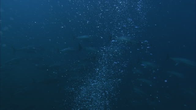 SLO MO MS Blue bubbles, school of Yellowfin tuna (Thunnus albacares) swimming in background / Moorea, Tahiti, French Polynesia