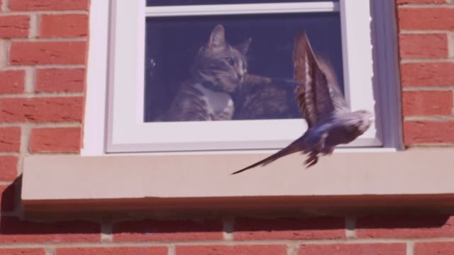 slomo la blue budgerigar flies past domestic cat sitting in window of house - sitta bildbanksvideor och videomaterial från bakom kulisserna