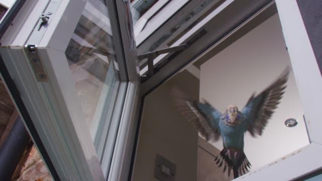 slomo la ms blue budgerigar flies through open kitchen window very close to camera - wellensittich sittich stock-videos und b-roll-filmmaterial