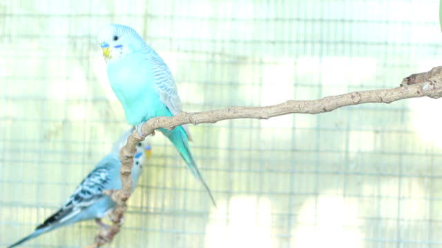 blue budgie - budgerigar stock videos & royalty-free footage