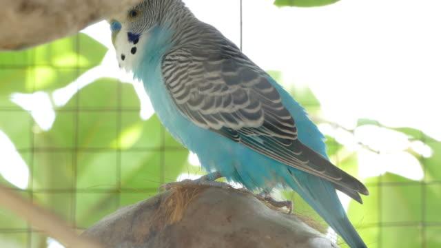 大きなケージにペットとして飼われた青い仲間 - セキセイインコ点の映像素材/bロール